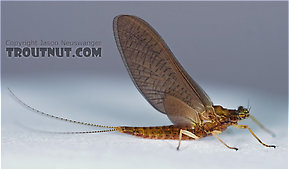 Female Eurylophella (Chocolate Duns) Mayfly Dun
