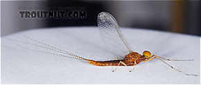 Eurylophella (Chocolate Duns) Mayfly Spinner
