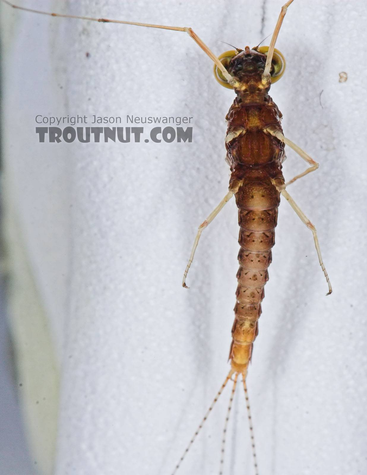 Male Eurylophella (Chocolate Duns) Mayfly Spinner from the Teal River in Wisconsin