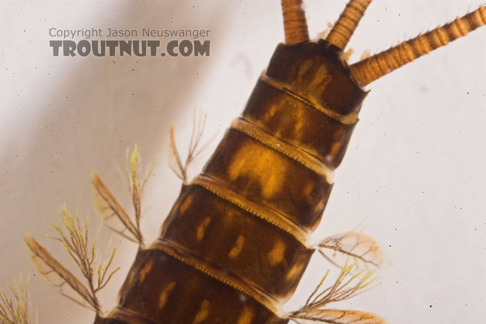 Heptagenia elegantula (Pale Evening Dun) Mayfly Nymph from Eighteenmile Creek in Wisconsin