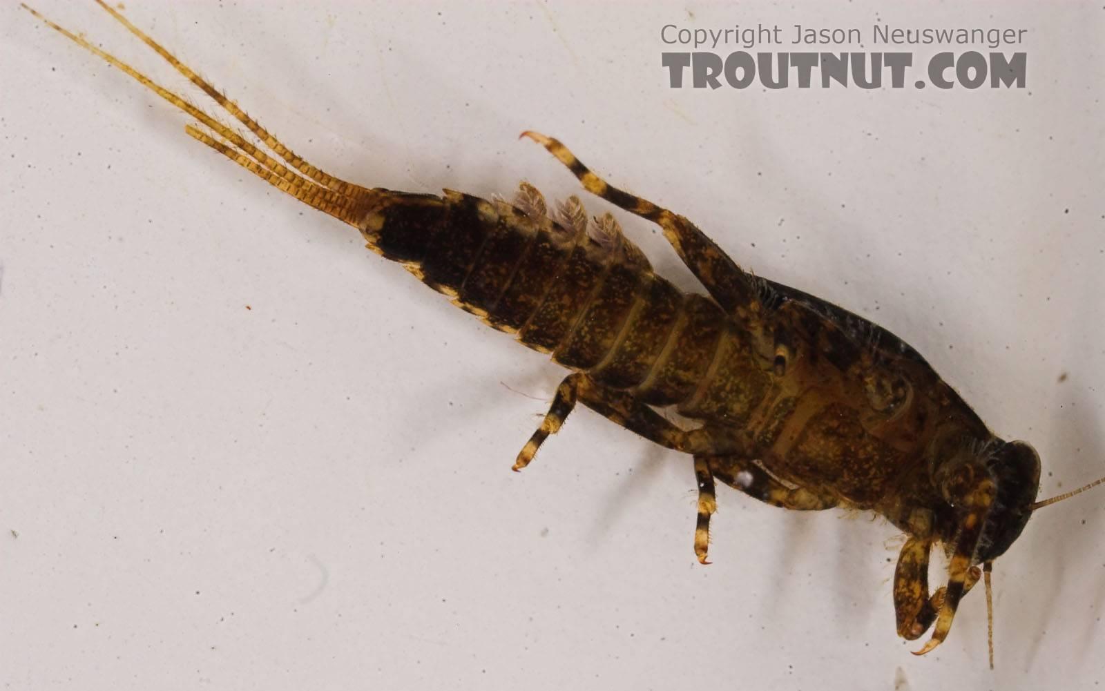Ephemerella (Hendricksons, Sulphurs, PMDs) Mayfly Nymph from Eighteenmile Creek in Wisconsin