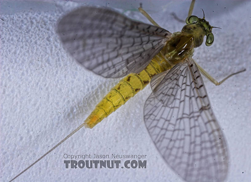 Female Heptageniidae (March Browns, Cahills, Quill Gordons) Mayfly Dun from the Teal River in Wisconsin