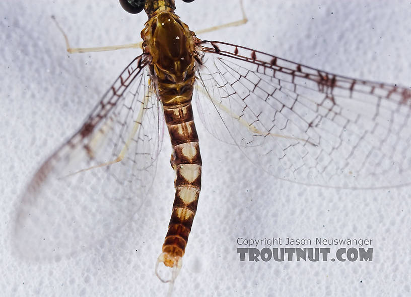 Male Leucrocuta hebe (Little Yellow Quill) Mayfly Spinner from the Teal River in Wisconsin