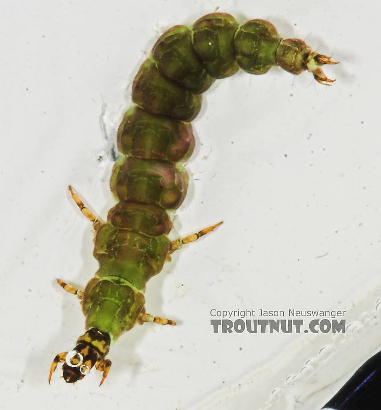 Rhyacophila fuscula (Green Sedge) Caddisfly Larva from the Long Lake Branch of the White River in Wisconsin