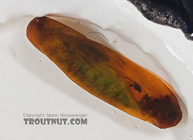Rhyacophila (Green Sedges) Caddisfly Pupa from the Long Lake Branch of the White River in Wisconsin