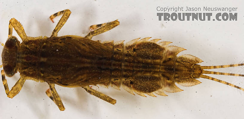 Eurylophella temporalis (Chocolate Dun) Mayfly Nymph from the Marengo River in Wisconsin