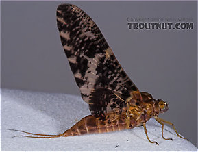 Female Baetisca laurentina (Armored Mayfly) Mayfly Dun