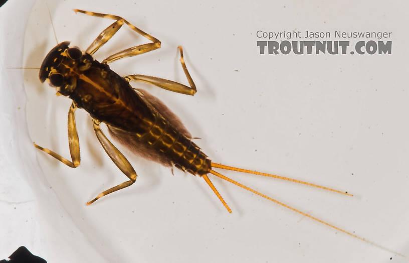 Stenacron interpunctatum (Light Cahill) Mayfly Nymph from the Marengo River in Wisconsin