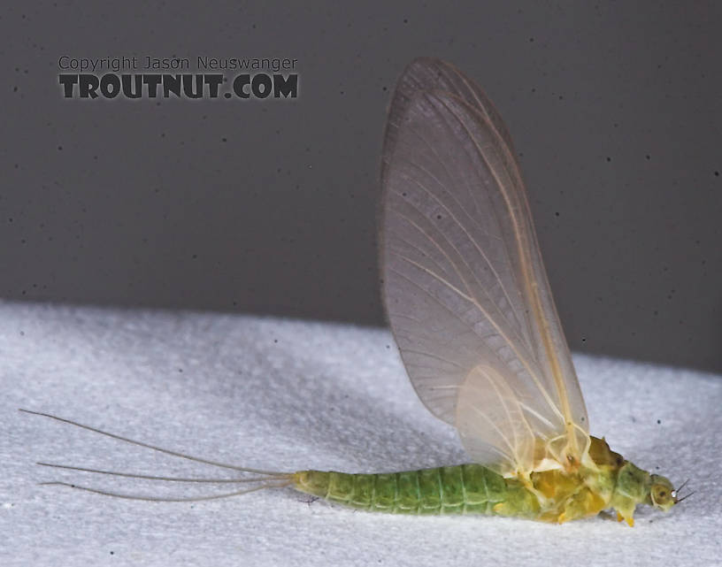 Female Attenella attenuata (Small Eastern Blue-Winged Olive) Mayfly Dun from the Namekagon River in Wisconsin