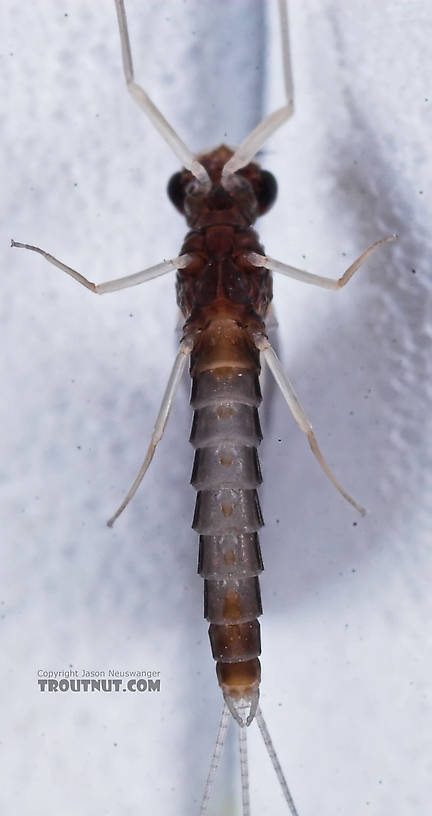Male Paraleptophlebia mollis (Jenny Spinner) Mayfly Dun from the Namekagon River in Wisconsin