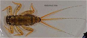 Maccaffertium mediopunctatum (Cream Cahill) Mayfly Nymph