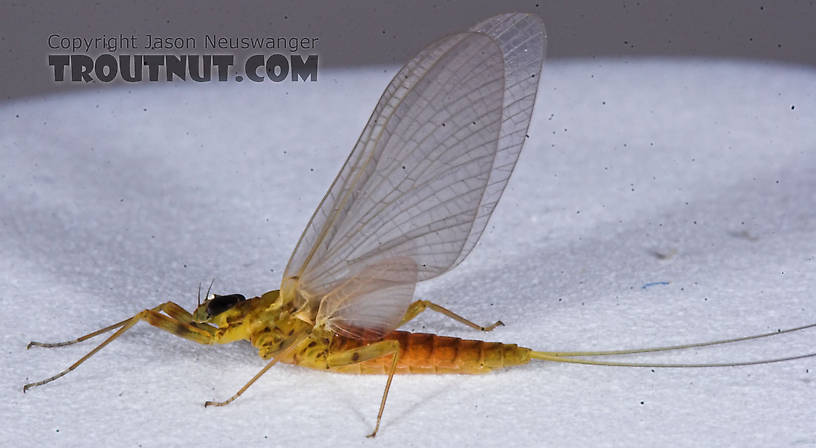 Female Epeorus vitreus (Sulphur) Mayfly Dun from the Namekagon River in Wisconsin