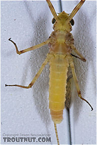 Female Maccaffertium (March Browns and Cahills) Mayfly Dun