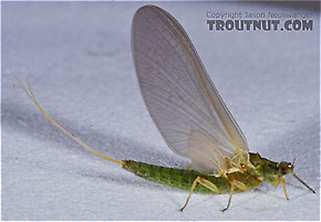 Female Attenella attenuata (Small Eastern Blue-Winged Olive) Mayfly Dun