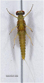 Male Attenella attenuata (Small Eastern Blue-Winged Olive) Mayfly Dun