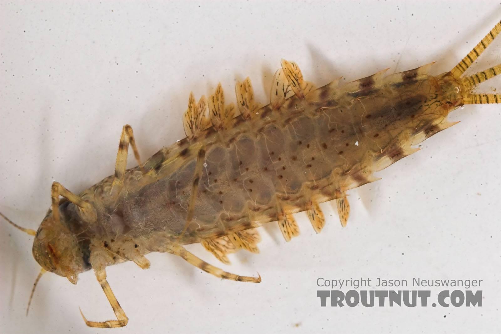 Siphlonurus alternatus (Gray Drake) Mayfly Nymph from the Namekagon River in Wisconsin