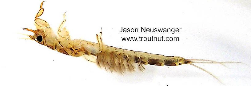 Ephemera simulans (Brown Drake) Mayfly Nymph from unknown in Wisconsin