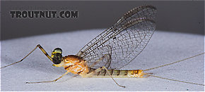 Male Stenacron interpunctatum (Light Cahill) Mayfly Spinner