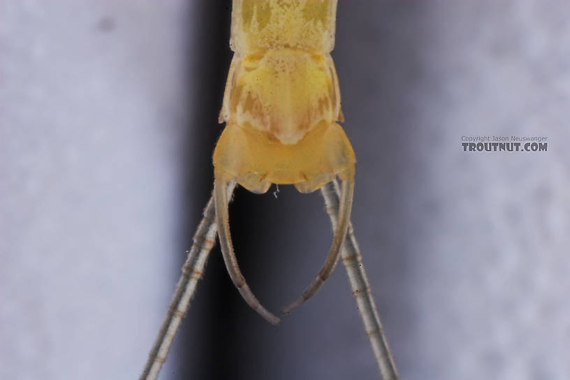 Male Stenacron interpunctatum (Light Cahill) Mayfly Spinner from the Namekagon River in Wisconsin