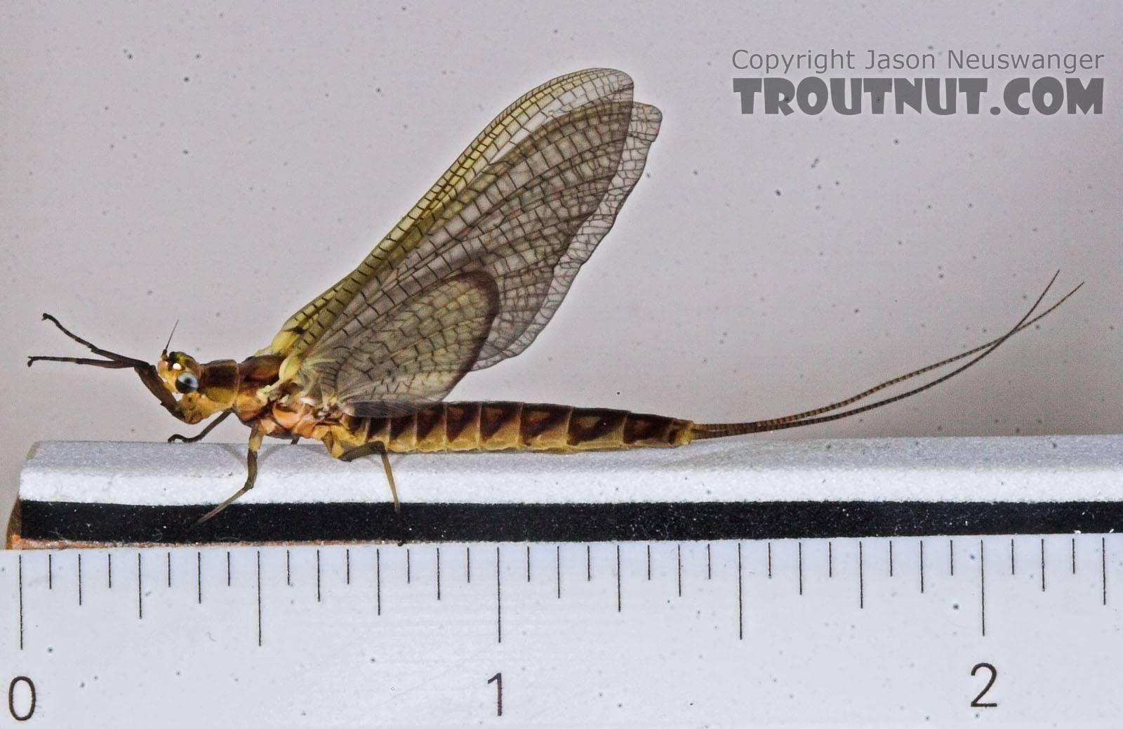 Female Hexagenia limbata (Hex) Mayfly Dun from the Namekagon River in Wisconsin
