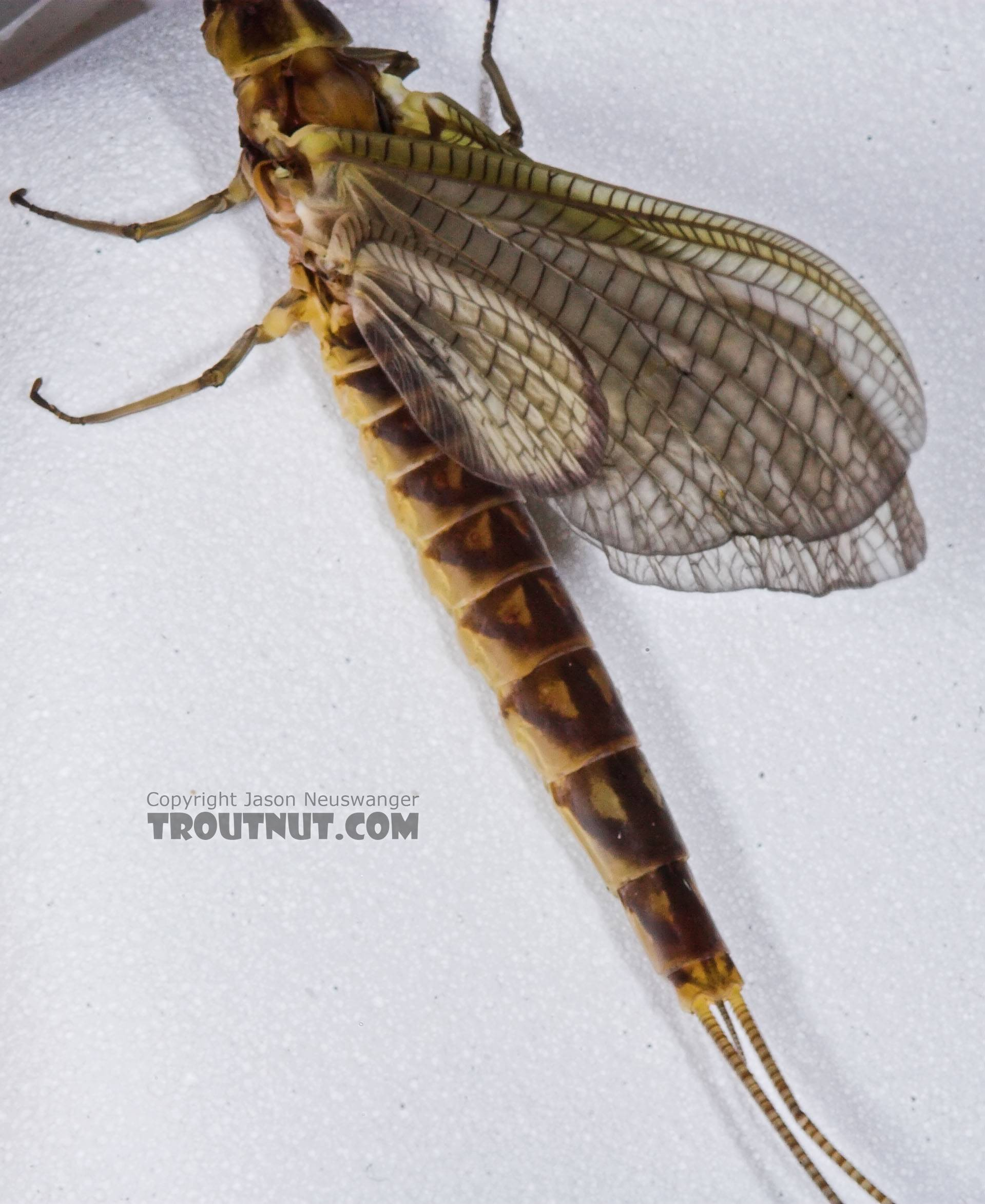 Female Hexagenia limbata (Hex) Mayfly Dun from the Namekagon River in Wisconsin