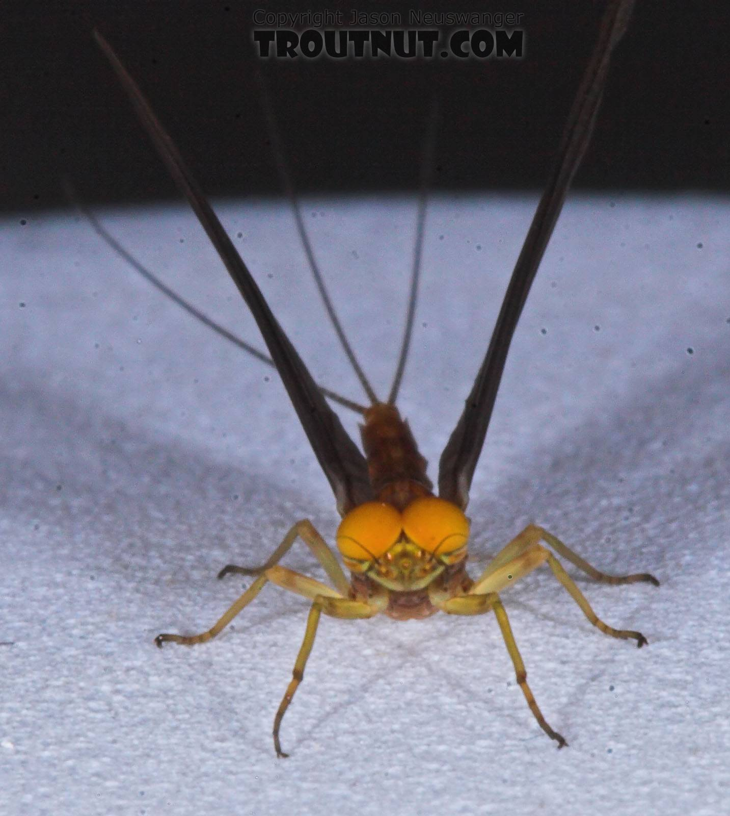 Male Eurylophella (Chocolate Duns) Mayfly Dun from the Teal River in Wisconsin