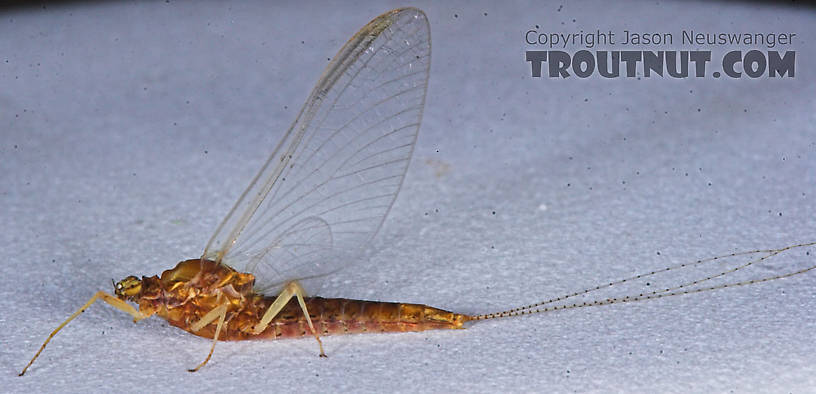 Female Eurylophella (Chocolate Duns) Mayfly Spinner from the Teal River in Wisconsin
