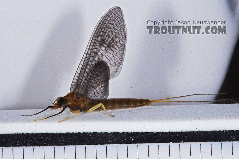 Female Isonychia bicolor (Mahogany Dun) Mayfly Dun from the Namekagon River in Wisconsin
