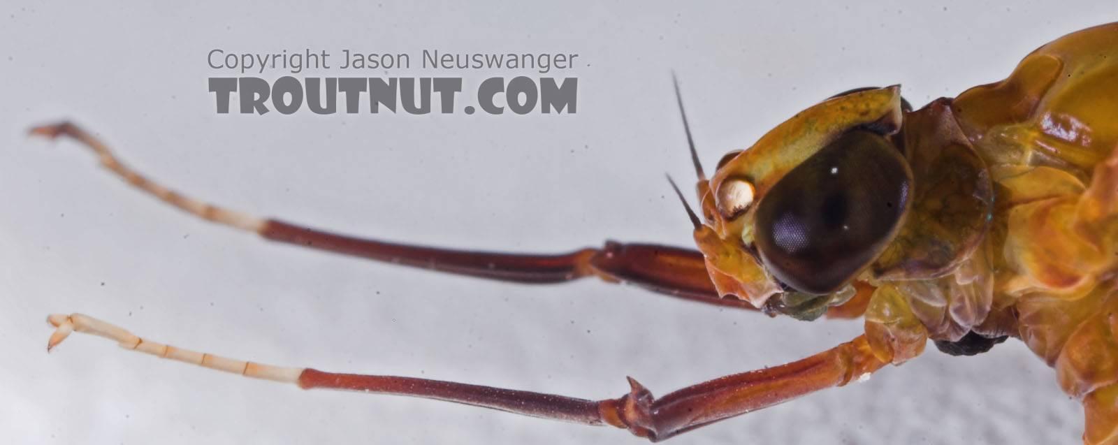 Female Isonychia bicolor (Mahogany Dun) Mayfly Dun from the Namekagon River in Wisconsin