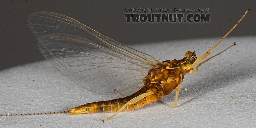 Female Eurylophella (Chocolate Duns) Mayfly Spinner from the Namekagon River in Wisconsin