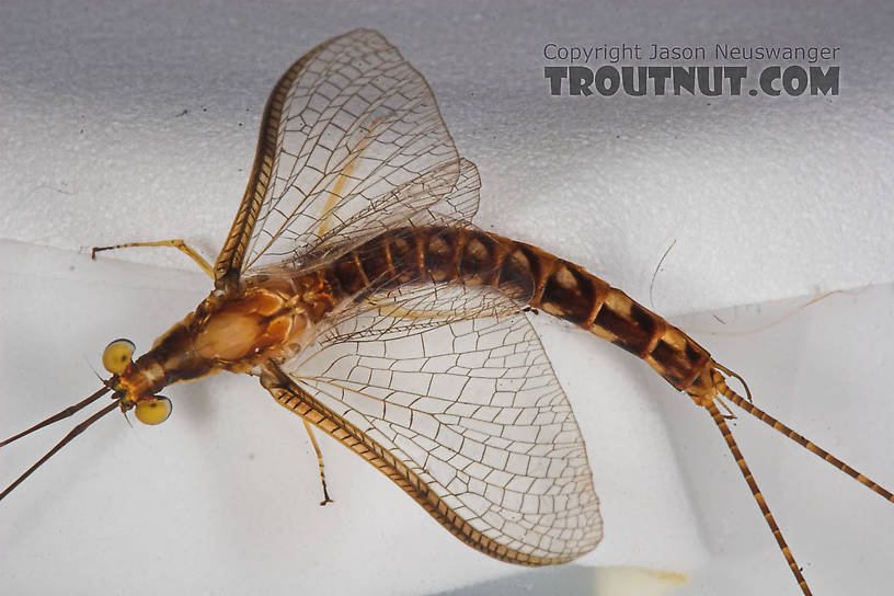 Male Hexagenia limbata (Hex) Mayfly Spinner from Atkins Lake in Wisconsin