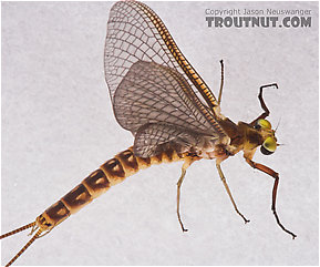 Male Hexagenia limbata (Hex) Mayfly Dun