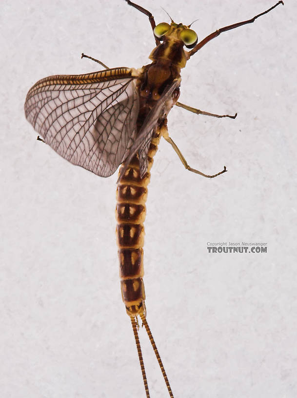 Male Hexagenia limbata (Hex) Mayfly Dun from the White River in Wisconsin