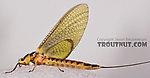 Female Hexagenia limbata (Hex) Mayfly Dun from the White River in Wisconsin