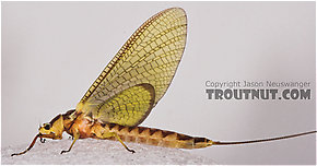 Female Hexagenia limbata (Hex) Mayfly Dun