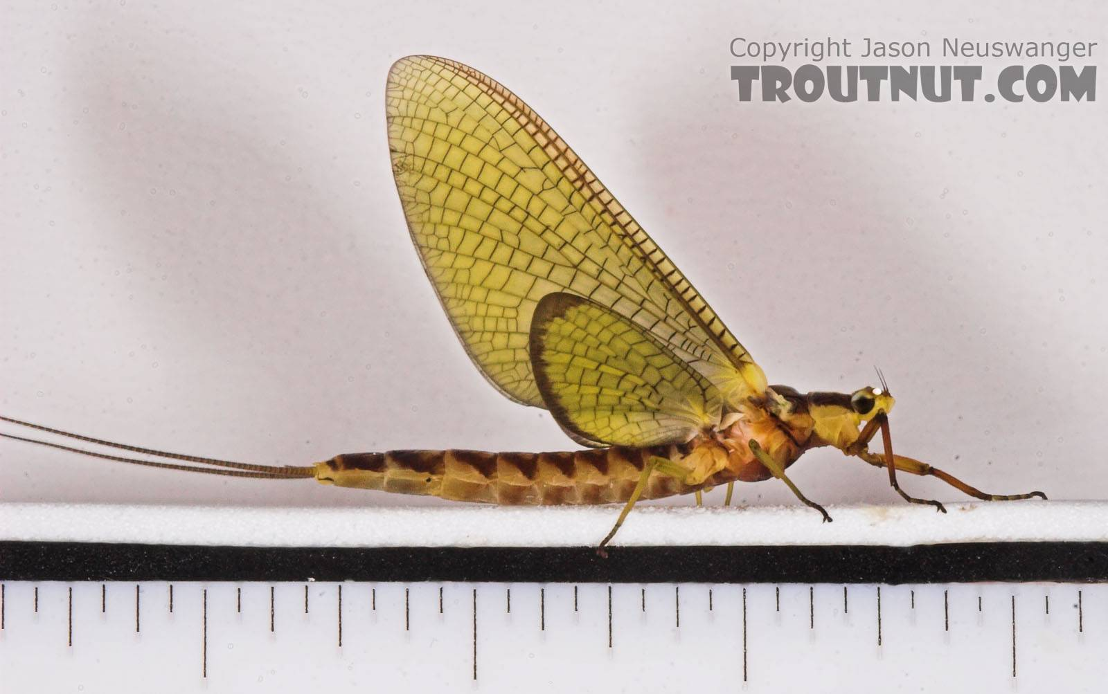 Female Hexagenia limbata (Hex) Mayfly Dun from the White River in Wisconsin
