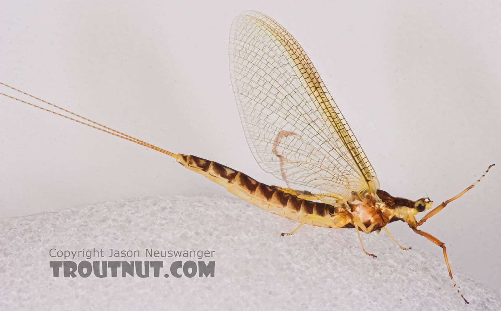Female Hexagenia limbata (Hex) Mayfly Spinner from the White River in Wisconsin
