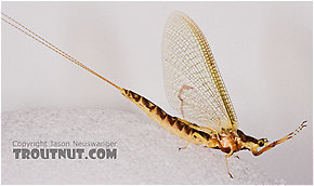 Female Hexagenia limbata (Hex) Mayfly Spinner