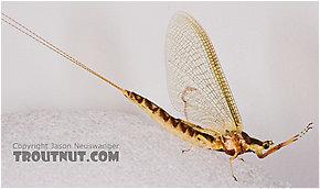 Female Hexagenia limbata (Hex) Mayfly Spinner