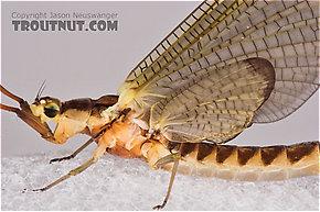 Female Hexagenia limbata (Hex) Mayfly Dun