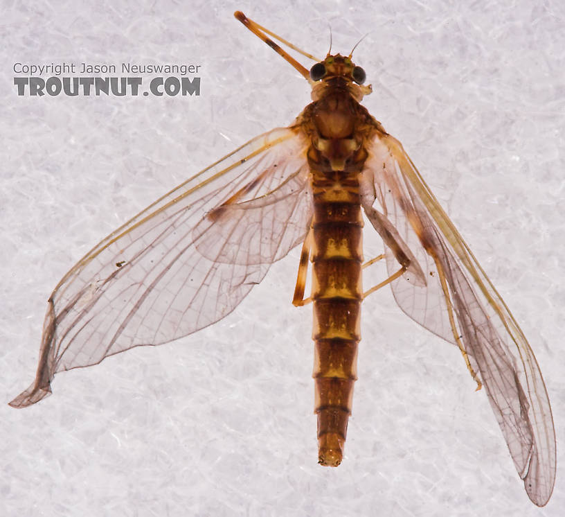 Female Heptageniidae (March Browns, Cahills, Quill Gordons) Mayfly Dun from the Long Lake Branch of the White River in Wisconsin