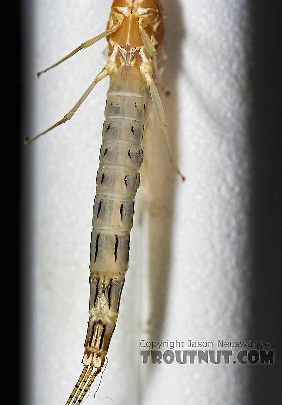 Female Ephemera varia (Yellow Drake) Mayfly Spinner from Cayuta Creek in New York