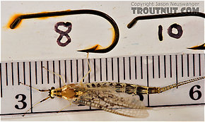 Female Ephemera varia (Yellow Drake) Mayfly Spinner