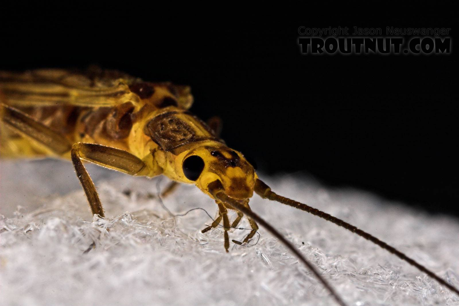 Isoperla (Stripetails and Yellow Stones) Stonefly Adult from Cayuta Creek in New York