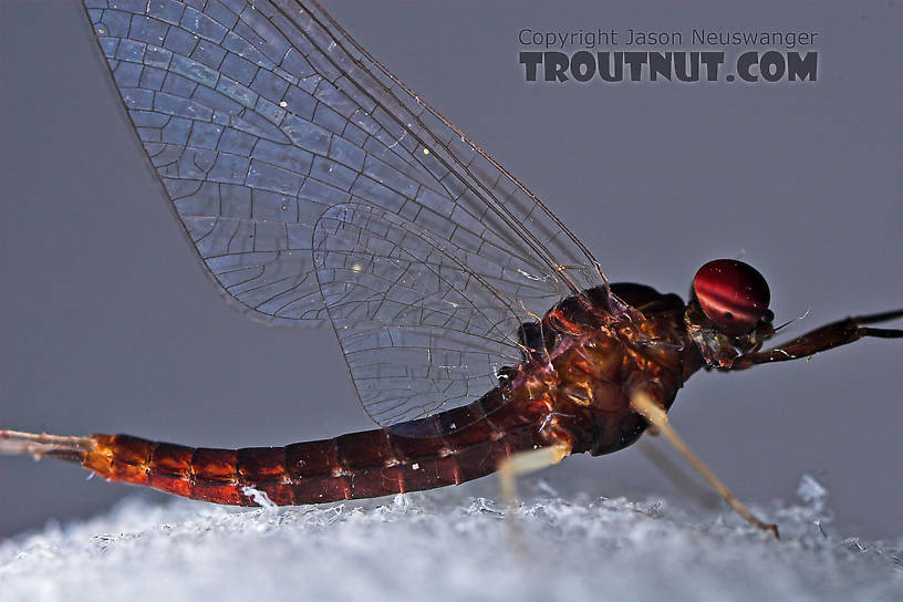 Male Isonychia bicolor (Mahogany Dun) Mayfly Spinner from the West Branch of Owego Creek in New York