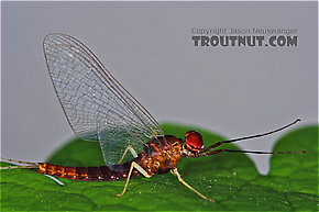 Male Isonychia bicolor (Mahogany Dun) Mayfly Spinner