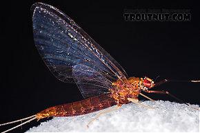 Female Isonychia bicolor (Mahogany Dun) Mayfly Spinner