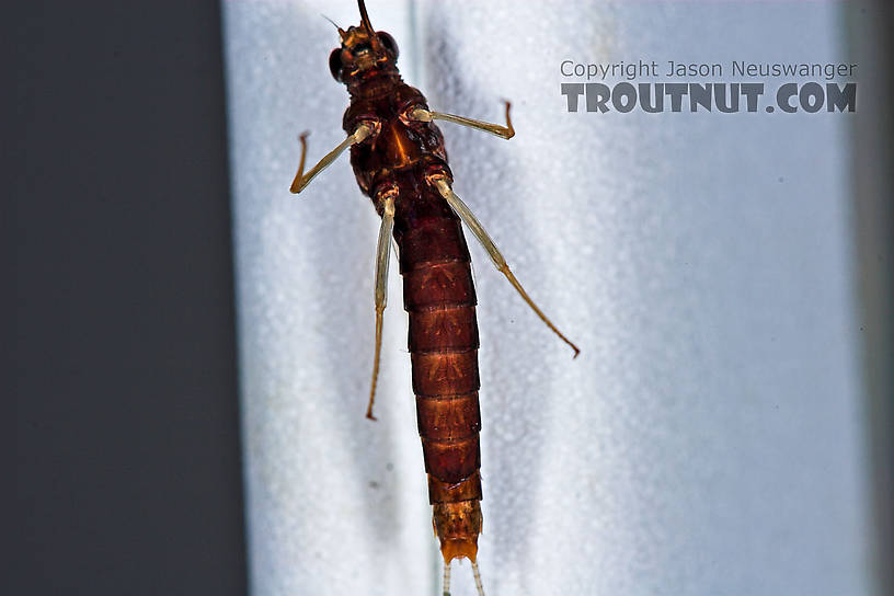 Female Isonychia bicolor (Mahogany Dun) Mayfly Spinner from the West Branch of Owego Creek in New York