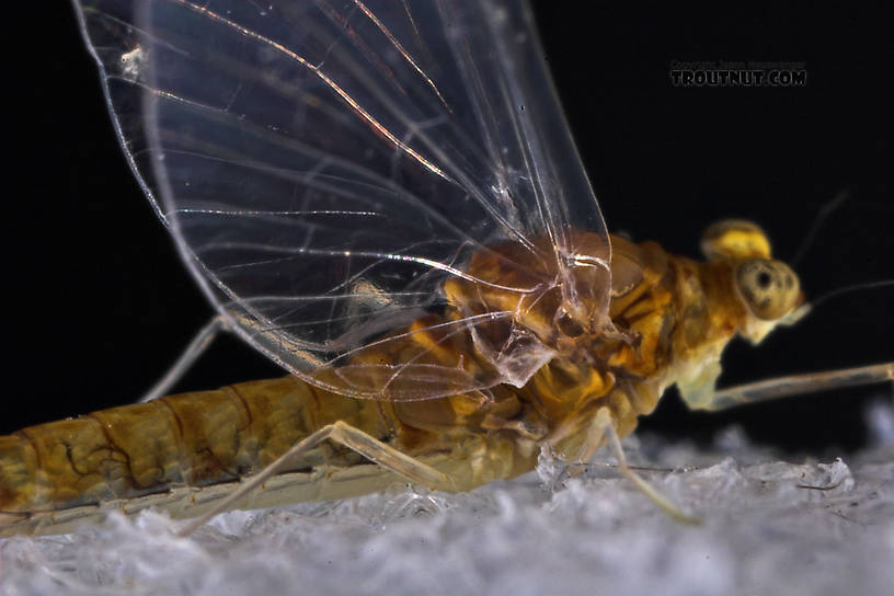 This picture shows the shape of the costal process on the hind wing pretty well.  Female Baetidae (Blue-Winged Olives) Mayfly Spinner from the West Branch of Owego Creek in New York