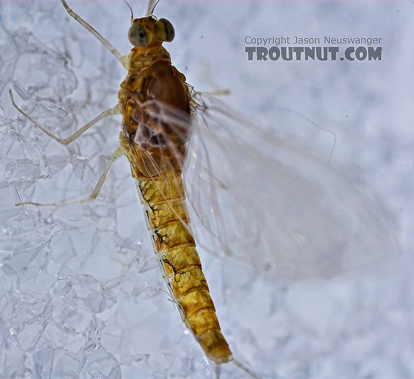 Female Baetidae (Blue-Winged Olives) Mayfly Spinner from the West Branch of Owego Creek in New York